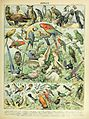 Adolphe Millot oiseaux A.jpg
