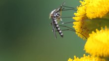 Fichier:Aedes (Finlaya) geniculatus on Tanacetum vulgare.ogv
