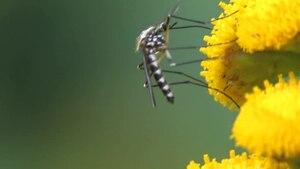 File:Aedes (Finlaya) geniculatus on Tanacetum vulgare.ogv