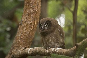 Boreal owl - Juvenile at Innsbruck Zoo