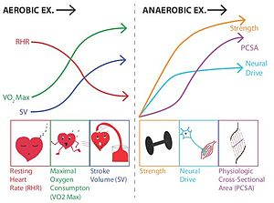 Kinesiology - Image: Aerobic Anaerobic Exercise Adaptations