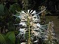 Aesculus parviflora 2015-07-25 5188.JPG