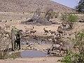 African Elephant (Loxodonta africana) (8603189693).jpg