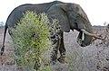 African Elephant (Loxodonta africana) bull (32860037350).jpg