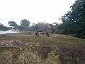 African Elephants (31811620525).jpg