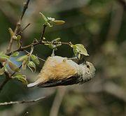 African Penduline-Tit (Anthoscopus caroli)