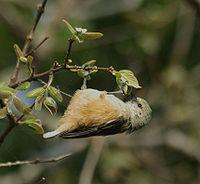 African Penduline-Tit (Anthoscopus caroli).jpg