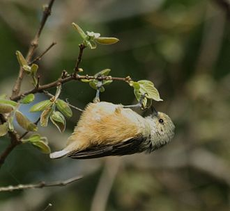 Gleaning (birds) - African penduline-tit (Anthoscopus caroli) hanging from the end of a branch and gleaning.