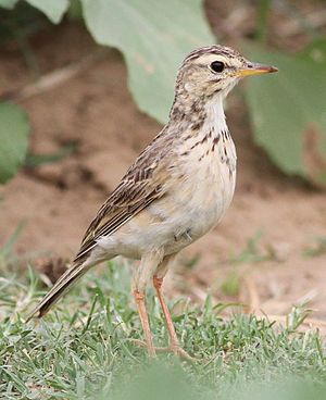 African pipit - Adult at Letaba in the Kruger National Park