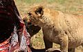 African lion, Panthera leo feeding at Krugersdorp Game Park, South Africa (30036709706).jpg