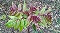 Ailanthus altissima, Santa Coloma de Farners 01.jpg