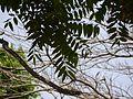 Ailanthus triphysa (5597254969).jpg