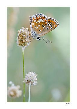 Aitor Escauriaza - plantago papallona (by).jpg per Aitor Escauriaza (plantago_papallona) [CC BY 2.0 (http://creativecommons.org/licenses/by/2.0)], via Wikimedia Commons