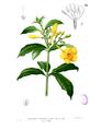 Allamanda cathartica Blanco1.30.png