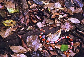 Allen's Coral Snake (Micrurus alleni) on the trail ... (24243624333).jpg