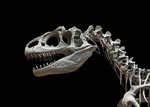 Allosaurus fragilis moulage MNHN paleontologie 1.JPG