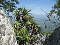 Aloe arborescens - Mecute 1 (10230418596).jpg