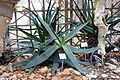 Aloe maculata (Aloe saponaria) - Botanischer Garten, Dresden, Germany - DSC08915.JPG