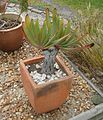 Aloe plicatilis juvenile fan aloe South Africa 2.JPG