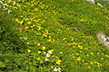 Alpine Flowers in Senjojiki Cirque Japan.JPG