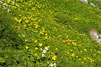 Alpine Flowers in Senjojiki Cirque Japan.JPG