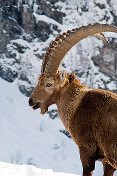 Alpine Ibex feb08a.jpg
