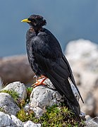Alpine chough on Veliki Vrh, Karawanks, Slovenia 10.jpg