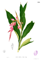 Alpinia sp Blanco2.464.png
