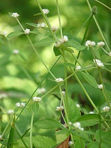 Alternanthera Sessilis Wikipedia