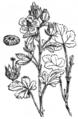 Althaea hirsuta 198.png