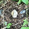 Amanita gemmata 20386023.jpg