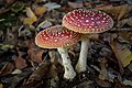 Amanita muscaria (31305853716).jpg