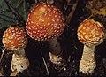 Amanita muscaria var. guessowii Veselý 112788.jpg