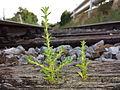 Amaranthus albus sl16.jpg