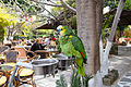 Amazona aestiva -Rhodes, South Aegean Periphery, Greece -pet-8a.jpg