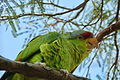 Amazona finschi -Arizona-Sonora Desert Museum, USA-8a.jpg