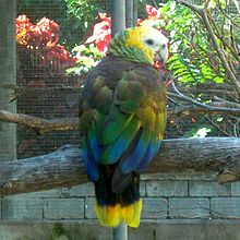 Amazona guildingii -Botanical Gardens -Kingstown -Saint Vincent-8a-4c.jpg