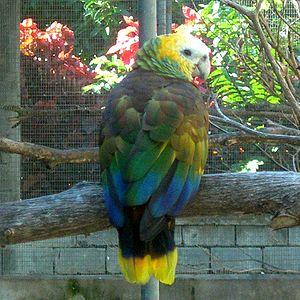 Saint Vincent and the Grenadines Rugby Union Football Club - A Saint Vincent parrot (Amazona Guildingii)