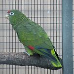 A green parrot with black-tipped wings, a red forehead, and white eye-spots