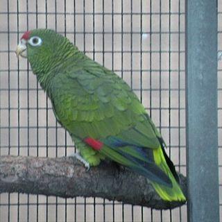 Tucumán amazon species of bird