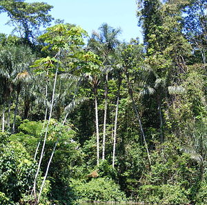 English: Amazonian rainforest, upper Amazon ba...