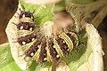 American Lady caterpillar - Vanessa virginiensis, Indian Springs WMA, Big Pool, Maryland (34959203715).jpg