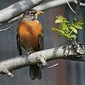 American Robin (13371246014).jpg