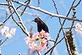 Amethyst Sunbird (207677757).jpeg