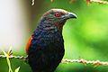 Amit yadav crow pheasant.jpg