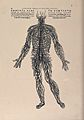 An arrangement of the spinal nerves. Photolithograph, 1940, Wellcome V0010424.jpg