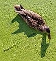 Anas platyrhynchos (female) in Lemna sp, Swan Lake, Saanich, British Columbia 03.jpg