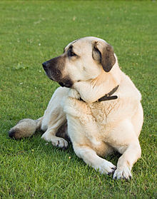 Anatolian-shepherd-dog.jpg