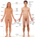Anatomia humana.png