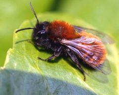 plant pszczoły na penisie